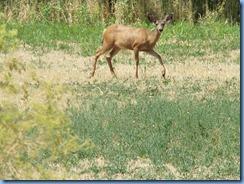 1592 Deer between LBNM & Redding CA