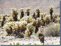 3028 Cholla Cactus Garden Joshua Tree National Park CA