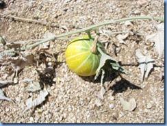 3024 Coyote Melon Joshua Tree National Park CA