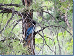 4354 Stellers Jay at Fairyland Canyon Bryce Canyon National Park UT