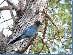 4360 Stellers Jay at Fairyland Canyon Bryce Canyon National Park UT
