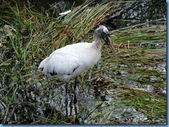 7456 Everglades National Park FL- Royal Palm Anhinga Trail - Wood Stork