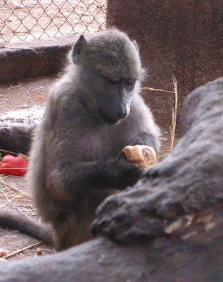 Roxie Baboon CARE