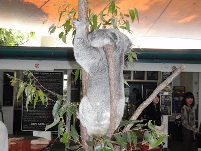 Koala, Cairns Tropical Zoo