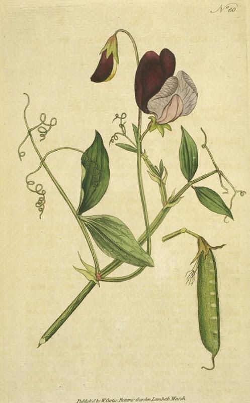 lathyrusodoratus[1]