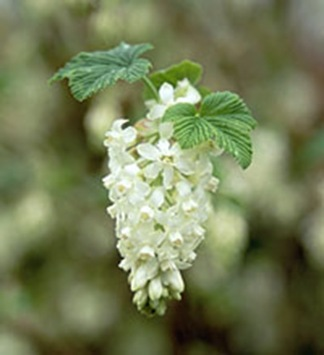 Ribes-sanguineum-White-Ici[1]