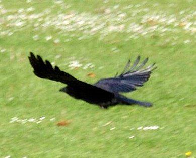 Town Raven
