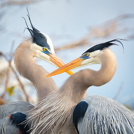 Great Blue Herons In Love by Debbie Sloan - Animals Birds ( great blue heron, love, heart, breeding, gbh, plumage, mating, birds )