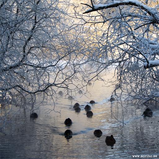 Vinterbild på Ultuna källa med änder i skuggan.