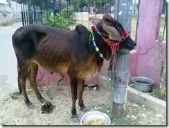 2010-11-09 Eid ul Azha Sacrificial Cow 056