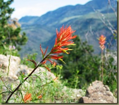 Brilliant Indian Paintbrush
