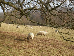 Sheep at Scotney Castle fields