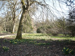 daffodils under the trees
