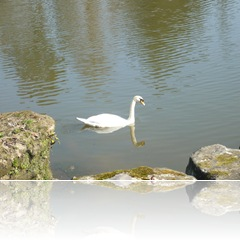 a solitary swan
