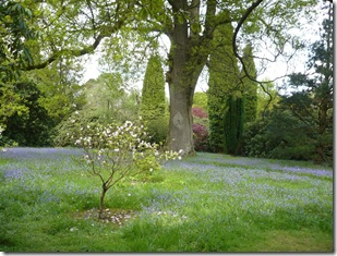 Bluebells and magnolia