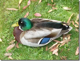 Afternoon siesta for this duck