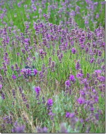 12_76_63---Lavender_web