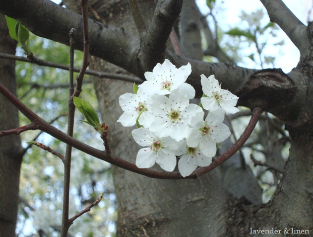 pictures of flowering trees 030