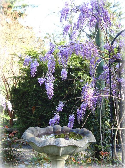 kristi wisteria 005-1