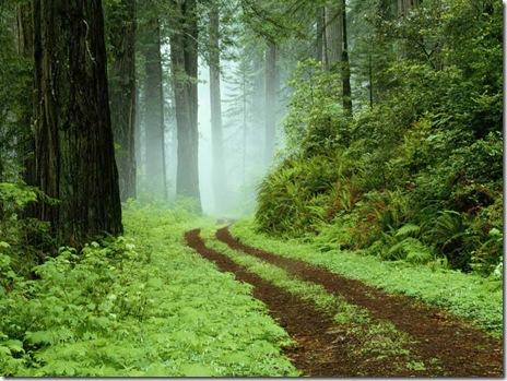 En skovsti i Redwoods State Park, Californien.