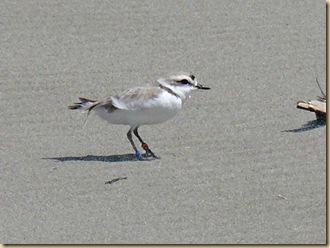 China Creek Plover