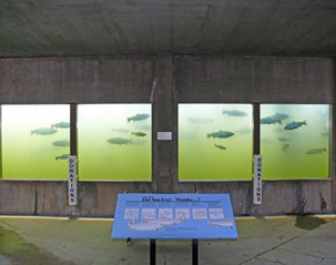 Trout Viewing Area