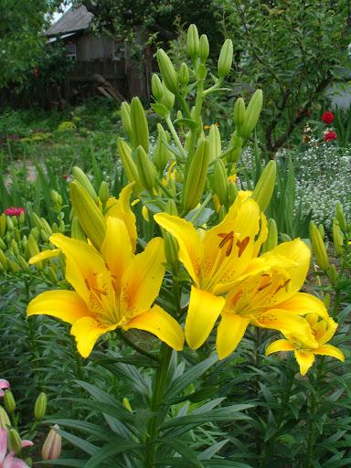 Цветы лили марлен фото