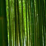 Les bambous d'Anduze