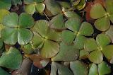 Marsilée à quatre feuilles/Marsilea quadrifolia<br /> Protection nationale, Directive habitat