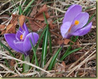 Late Spring this year - but at last 2 Crocuses