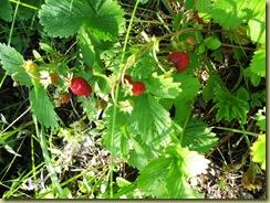 St Hans Wild Strawberries