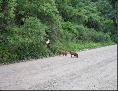Svin og geiter
