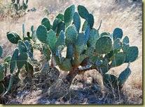 Lago Vista Dec 9 2010 - cactus