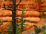 Dead tree at Red Canyon
