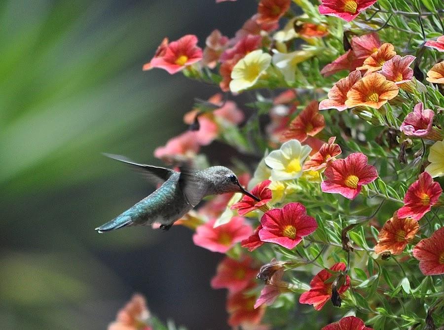 This Tastes Yummy by Ed Hanson - Animals Birds ( bird, nature, food, in-flight, flowers )