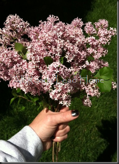 Lilacs Iphone