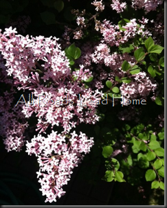 Lilacs Iphone3