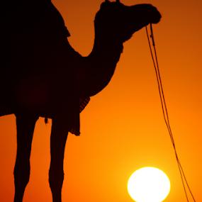 Orange by Ajay Sood - Landscapes Deserts ( pwcsummer, camel, jaisalmer, desert, rajasthan, sunset, silhouette, photo images from india, india, travelure, travel, sun )