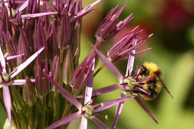 05 May Allium and bee