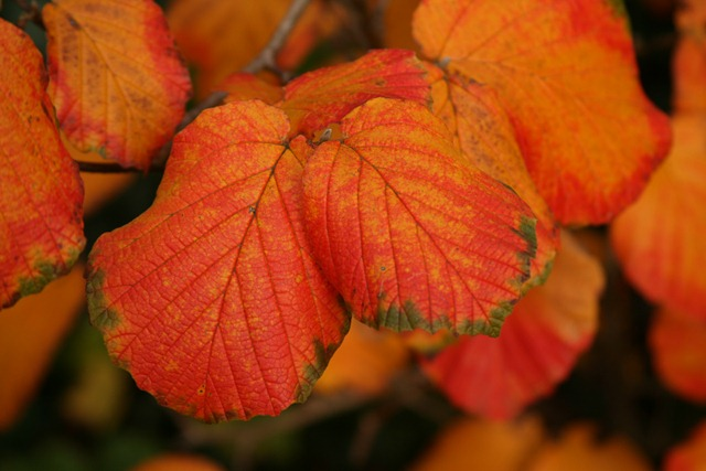 11 - November Witch hazel leaves