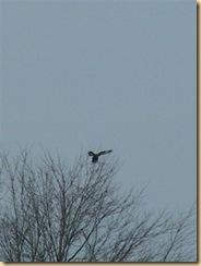eagle marsh, feb 1, 09 (13) (Medium)