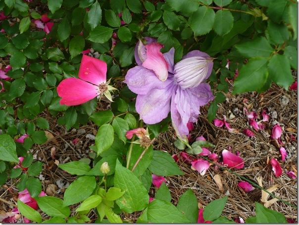 purpleclematis