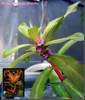 Ammania en Flor