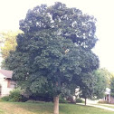 Norway maple