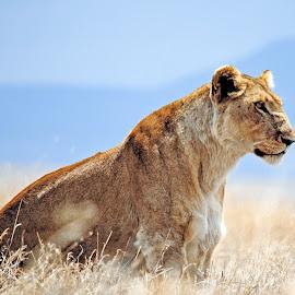 Lioness by Jaliya Rasaputra - Animals Lions, Tigers & Big Cats