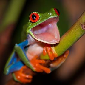 Pleasantly Surprised by Kutub Macro-man - Animals Amphibians ( #showusyourpets, macro, nature, red eye tree frog, #garyfongpets, amphibians, close-up, animal )