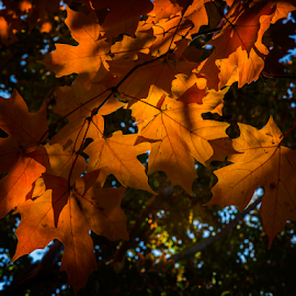 Fall Light in Georgetown by Kevin Egan - Nature Up Close Leaves & Grasses ( georgetown, backlit, color, fall, leaves )
