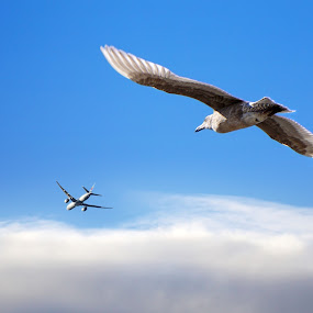 In Flight by Sunny Zheng - Animals Birds ( seagull, airplane, bird, fly, flight )