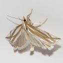 Snakeweed Borer Moth