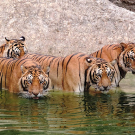 Tiger Temple by Rose Bilbrough - Animals Lions, Tigers & Big Cats